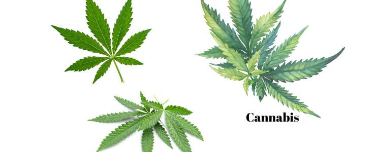 Cannabis vs Hemp vs Marijuana - Part I