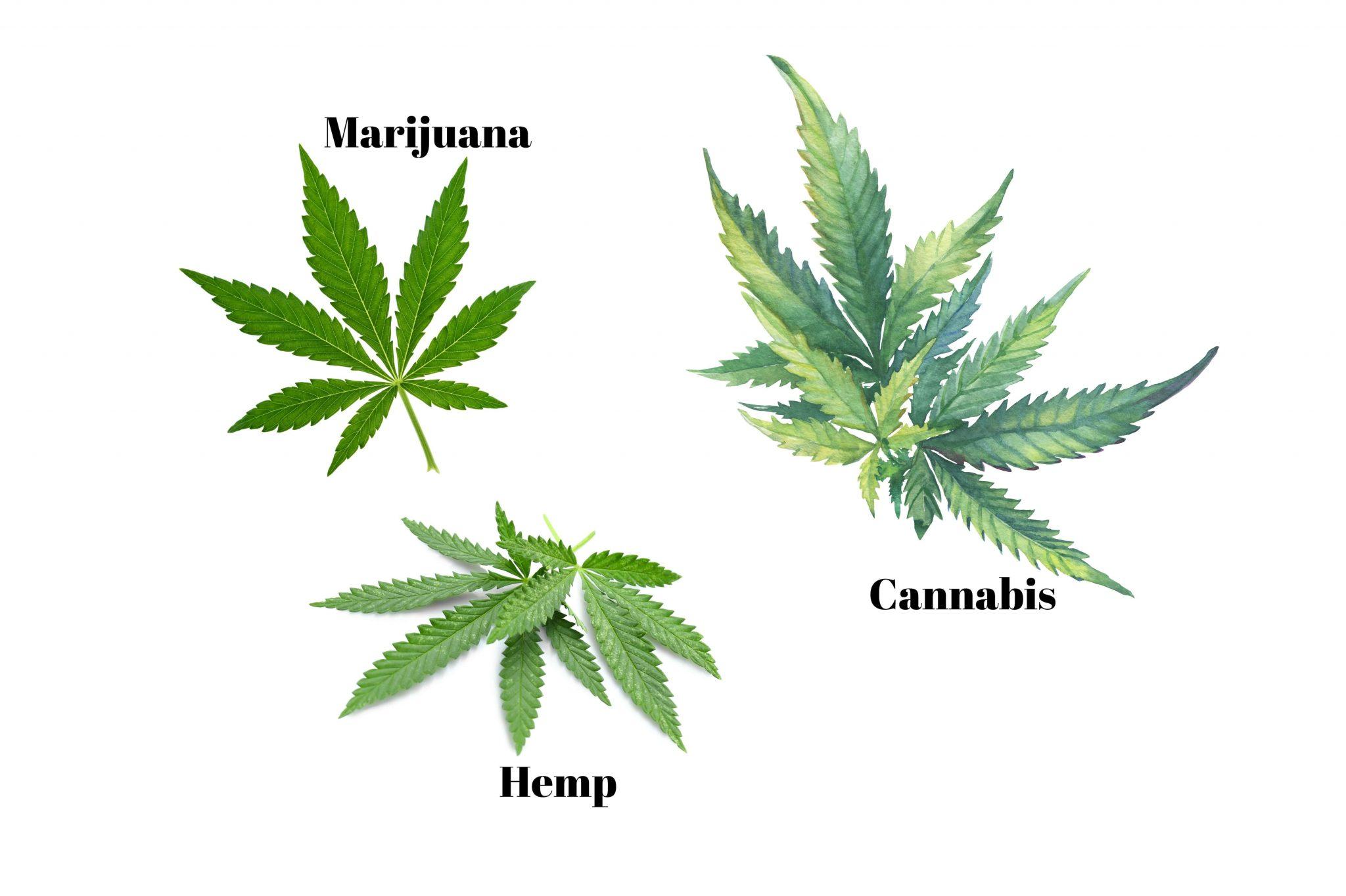 Cannabis vs Marijuana vs Hemp. What exactly is the difference?